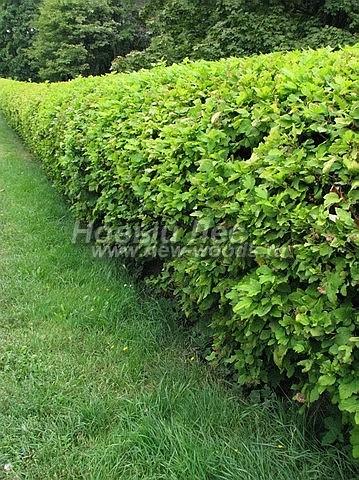 Живые изгороди: стриженая изгородь из сортового Пузереплодника (лето, Москва)