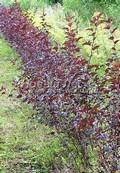 Живая изгородь из лиственных растений Пузыреплодник калинолистный Диабло (Диаболо) (Physocarpus opulifolius 'Diabolo')