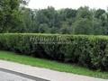 Стриженая живая изгородь из лиственных растений Карагана древовидная (Желтая акация) (Caragana arborescens)