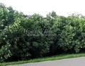 Живая изгородь из лиственных растений Сирень обыкновенная (Syringa vulgaris)