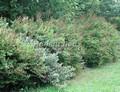 Живая изгородь из лиственных растений Спирея Билларда (Spiraea billardii)