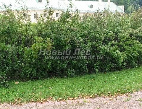 Живая изгородь из лиственных растений Спирея Вангутта (Spiraea x vanhouttei)