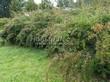 Живая изгородь из лиственных растений Спирея Вангутта (Spiraea x vanhouttei) - 101