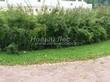 Живая изгородь из лиственных растений Спирея Вангутта (Spiraea x vanhouttei) - 102
