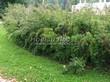 Живая изгородь из лиственных растений Спирея Вангутта (Spiraea x vanhouttei) - 103