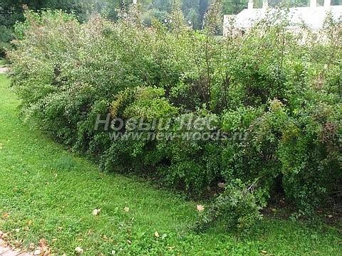 Живые изгороди: свободно растущие Спиреи Вангутта в зеленой изгороди (высота около 1,5 метров, Москва)