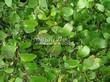 Живая изгородь из лиственных растений Спирея Вангутта (Spiraea x vanhouttei) - 104