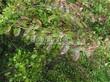Живая изгородь из лиственных растений Спирея Вангутта (Spiraea x vanhouttei) - 105