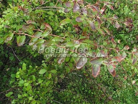 Живые изгороди: осенняя листва кустарника Спирея Вангутта (сентябрь)