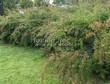 Живая изгородь из лиственных растений Спирея Вангутта (Spiraea x vanhouttei) - 106