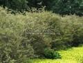 Живая изгородь из лиственных растений Спирея серая (пепельная) Грефшейм (Spiraea x cinerea 'Grefsheim')
