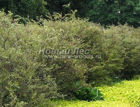 Живая изгородь из лиственных растений Спирея серая Грефшейм (Spiraea x cinerea 'Grefsheim')