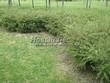 Живая изгородь из лиственных растений Спирея серая (пепельная) Грефшейм (Грефсхайм) (Spiraea x cinerea 'Grefsheim') - 101