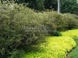 Живая изгородь из лиственных растений Спирея серая (пепельная) Грефшейм (Грефсхайм) (Spiraea x cinerea 'Grefsheim') - 102