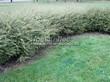 Живая изгородь из лиственных растений Спирея серая (пепельная) Грефшейм (Грефсхайм) (Spiraea x cinerea 'Grefsheim') - 103