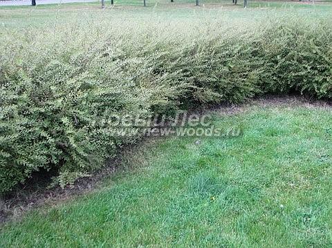 Живые изгороди: молодые растения Спиреи серой Грефшейм в изгороди (выстота 60-70 см, Московская область)