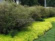 Живая изгородь из лиственных растений Спирея серая (пепельная) Грефшейм (Грефсхайм) (Spiraea x cinerea 'Grefsheim') - 104