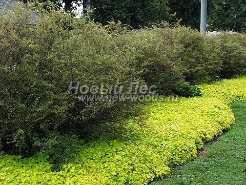 Живые изгороди: декоративные растения с желтоватой листвой усиливают эффект серого цвета листвы кустарника Спирея серая Грефшейм (изгородь высотой 2 метра, Москва)