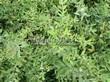 Живая изгородь из лиственных растений Спирея серая (пепельная) Грефшейм (Грефсхайм) (Spiraea x cinerea 'Grefsheim') - 105