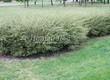 Живая изгородь из лиственных растений Спирея серая (пепельная) Грефшейм (Грефсхайм) (Spiraea x cinerea 'Grefsheim') - 106