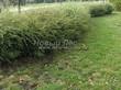Живая изгородь из лиственных растений Спирея серая (пепельная) Грефшейм (Грефсхайм) (Spiraea x cinerea 'Grefsheim') - 108