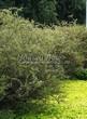Живая изгородь из лиственных растений Спирея серая (пепельная) Грефшейм (Грефсхайм) (Spiraea x cinerea 'Grefsheim') - 109