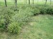 Живая изгородь из лиственных растений Спирея серая (пепельная) Грефшейм (Грефсхайм) (Spiraea x cinerea 'Grefsheim') - 110