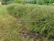 Живая изгородь из лиственных растений Спирея серая (пепельная) Грефшейм (Грефсхайм) (Spiraea x cinerea 'Grefsheim') - 111