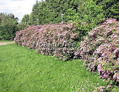 Живая изгородь из лиственных растений Спирея японская (Spiraea japonica)