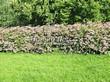 Живая изгородь из лиственных растений Спирея японская (Spiraea japonica) - 101