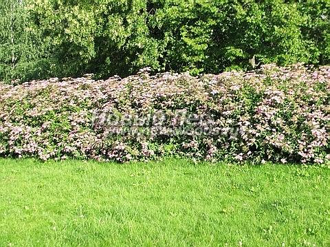 Живые изгороди: изгородь из Спиреи на участке. Летнее цветение (высота около 2 метров, Московская область)