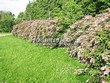 Живая изгородь из лиственных растений Спирея японская (Spiraea japonica) - 102