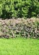 Живая изгородь из лиственных растений Спирея японская (Spiraea japonica) - 103