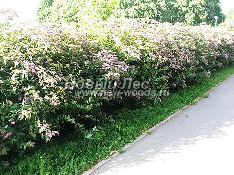 Живые изгороди: цветущая изгородь из Спиреи высотой 1,5 метра (Москва)