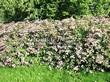Живая изгородь из лиственных растений Спирея японская (Spiraea japonica) - 105