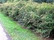 Живая изгородь из лиственных растений Спирея японская (Spiraea japonica) - 106