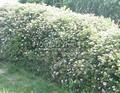 Живая изгородь из лиственных растений Спирея японская Литтл Принцесс (Spiraea japonica 'Little Princess')