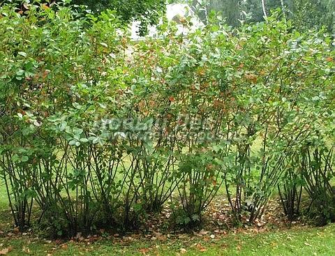Живая изгородь из лиственных растений Черноплодная рябина (Арония черноплодная) (Aronia melanocarpa)