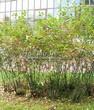 Живая изгородь из лиственных растений Черноплодная рябина (Арония черноплодная) (Aronia melanocarpa) - 101