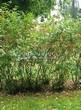 Живая изгородь из лиственных растений Черноплодная рябина (Арония черноплодная) (Aronia melanocarpa) - 102