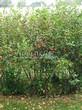 Живая изгородь из лиственных растений Черноплодная рябина (Арония черноплодная) (Aronia melanocarpa) - 103