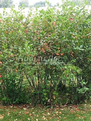 Живые изгороди: свободно растущая изгородь из растения Арония черноплодная (Черноплодная рябина) (высота 1,5 метра, Московская область)