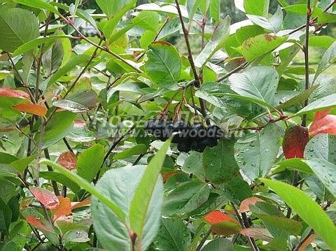 Живые изгороди: листва и плоды кустарника Арония черноплодная (сентябрь)