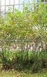 Живая изгородь из лиственных растений Черноплодная рябина (Арония черноплодная) (Aronia melanocarpa) - 105