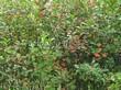 Живая изгородь из лиственных растений Черноплодная рябина (Арония черноплодная) (Aronia melanocarpa) - 106