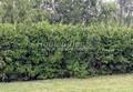 Живая изгородь из лиственных растений Чубушник венечный (Philadelphus coronarius)