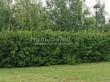 Живая изгородь из лиственных растений Чубушник венечный (Philadelphus coronarius) - 101