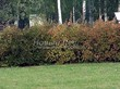 Живая изгородь из лиственных растений Чубушник венечный (Philadelphus coronarius) - 102