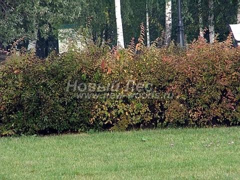 Живые изгороди: осенняя окраска изгороди из Чубушника венечного (сентябрь, Москва, высота 1,5 метра)
