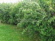 Живая изгородь из лиственных растений Чубушник венечный (Philadelphus coronarius) - 103